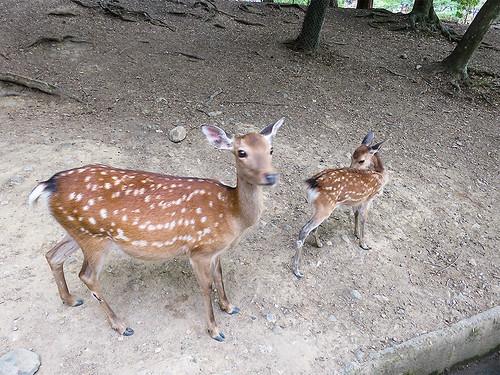 IMG_6638 Deer @ Nara Park Japan