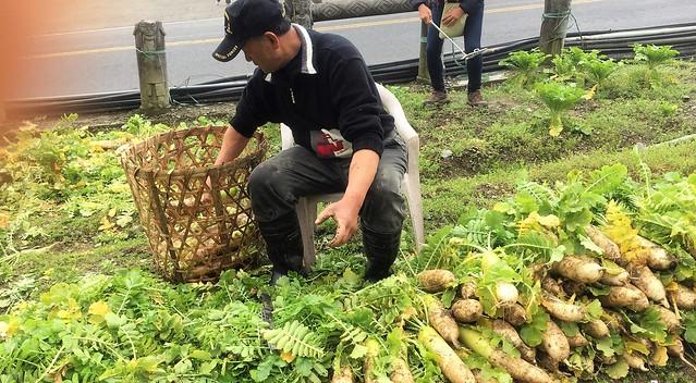 福山農場 高麗菜 (4)