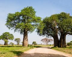 2017 decembre. Tarangire National Park.-Landscape