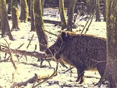 2018:02:14 13:44:11 - Bäume & Schnee - Wildschwein sonnt sich