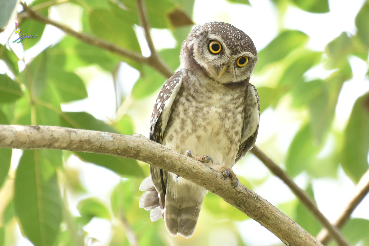 Spotted_Owlet_0409