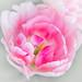 Angelique Peony Tulip #7
