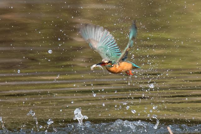 20180203-kingfisher-DSC_7017