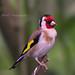 48 Goldfinch