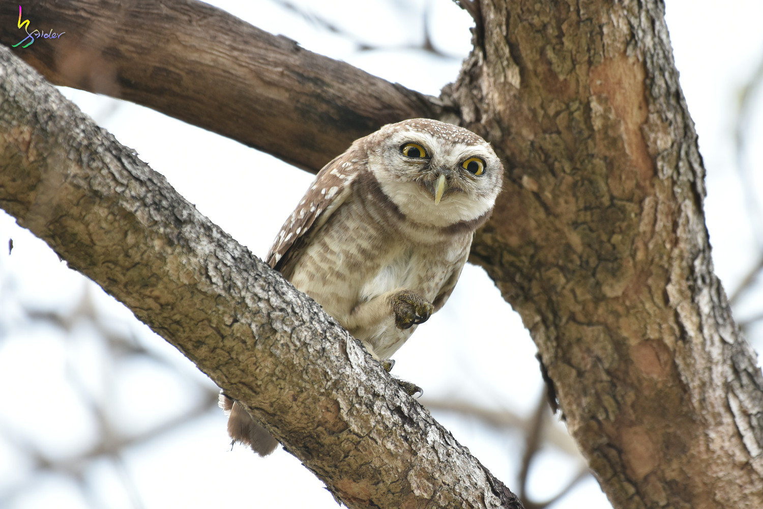 Spotted_Owlet_2441