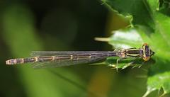 HolderBlue-tailed Damselfly immature -Ischnura elegans -Langford Lakes WT Wiltshire (10)