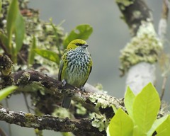 Speckled Tanager (Tangara guttata)