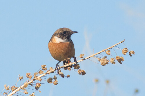 European Stonechat - male