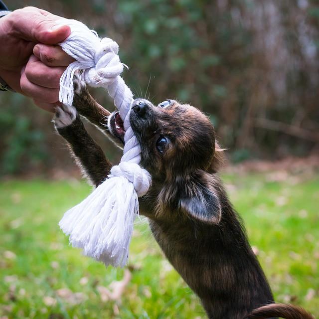 おもちゃを使って引っ張りっこをする犬