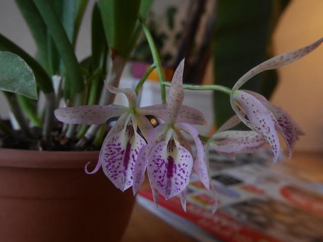 orchidées - floraisons du moment 2018 25037794547_b2fcbdfbe9_z