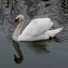 Cisne en las marismas de Plaiaundi