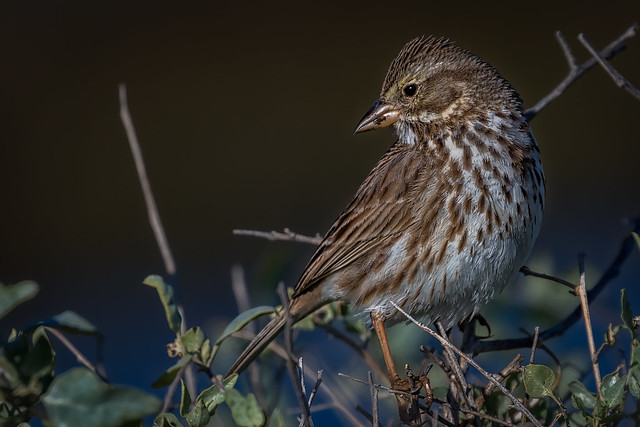 Savannah sparrow in profile, Canon EOS 7D MARK II, Canon EF 100-400mm f/4.5-5.6L IS II USM + 1.4x