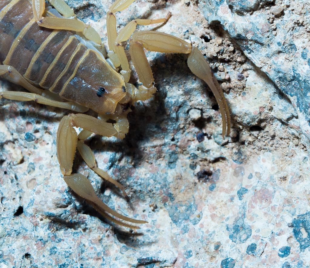 Bark Scorpion_1-2