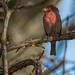 House Finch (2-27-18) by enthusiast photographer