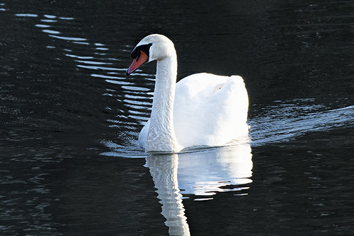 ny.alley.mute swan
