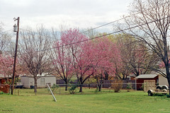 Redbuds in Bloom, Richland Hills, 1994
