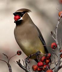 cedar waxwing bird -  Newport News Va.