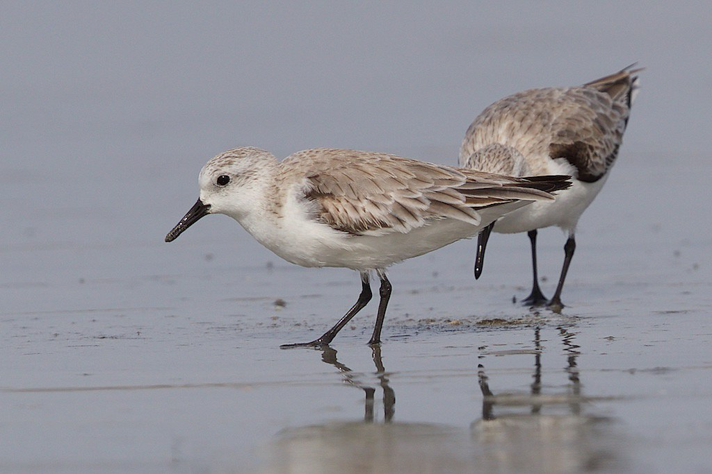 Sanderling   Calidris alba