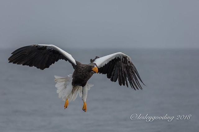 Steller's Sea Eagle 2018