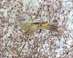 Orange-crowned Warbler 5