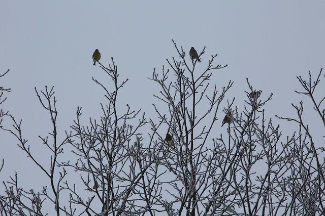 Silly European greenfinch