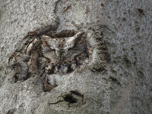 Chroniques d'Angrignon   Amandine au trou no 6   Petit-duc maculé femelle de forme grise   Parc Angrignon   Arrondissement Sud-Ouest   Montréal [Explore   2018-02-25   M03]