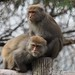 Formosan Macaques by Paul Gallagher