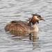 GREBE AND CHICK #18.JPG
