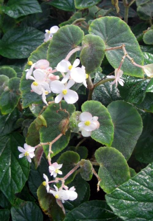 Begonia tomentosa 40408729582_85f831a568_o