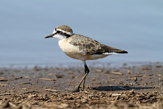 Charadrius pecuarius (Kittlitz's Plover)- -South Africa.