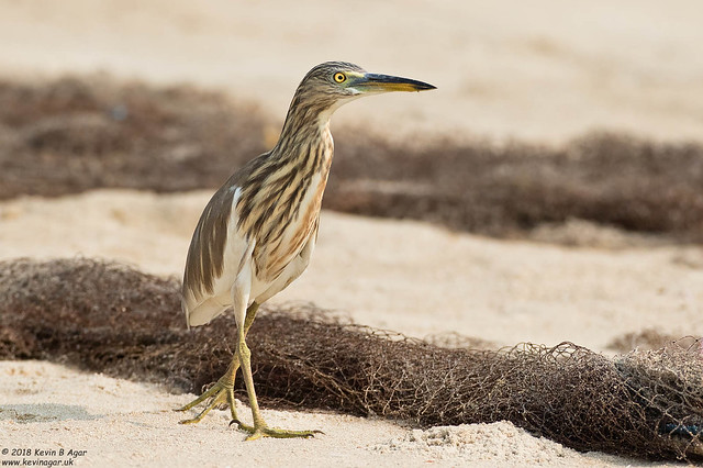 Indian Pond Heron, Ardeola, Canon EOS 7D MARK II, Canon EF 500mm f/4L IS