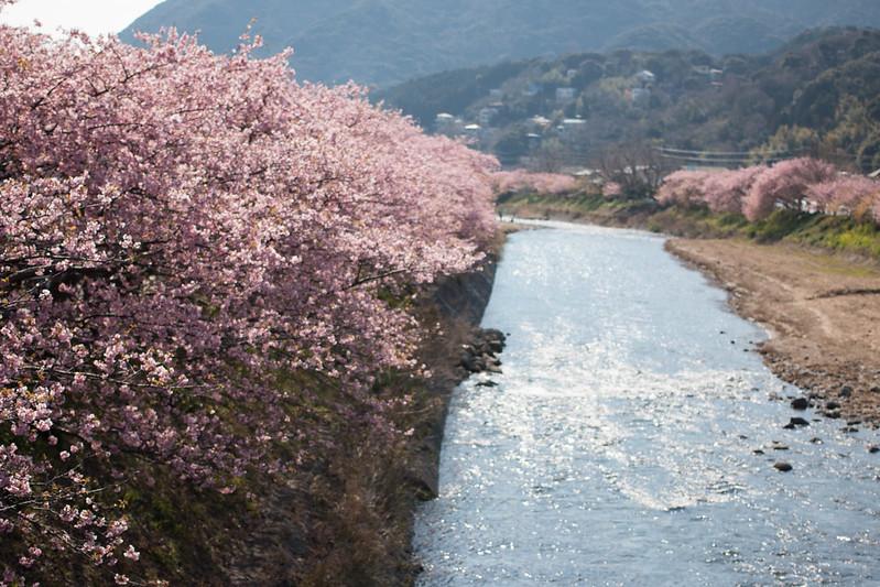 20160227-河津桜-0055.jpg