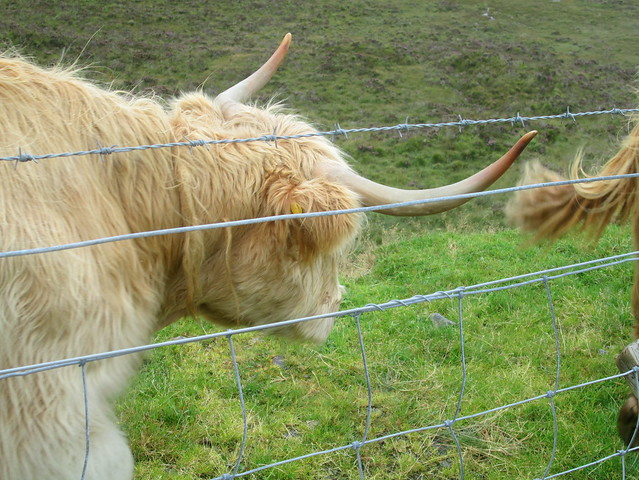 Highland Cows on Skye 2