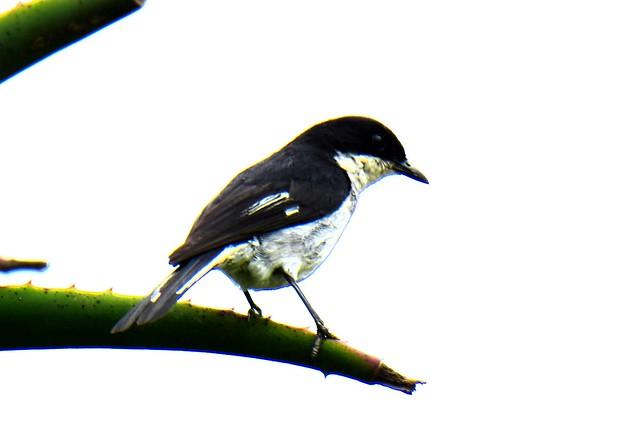 Fiscal Flycatcher (Melaenornis silens)