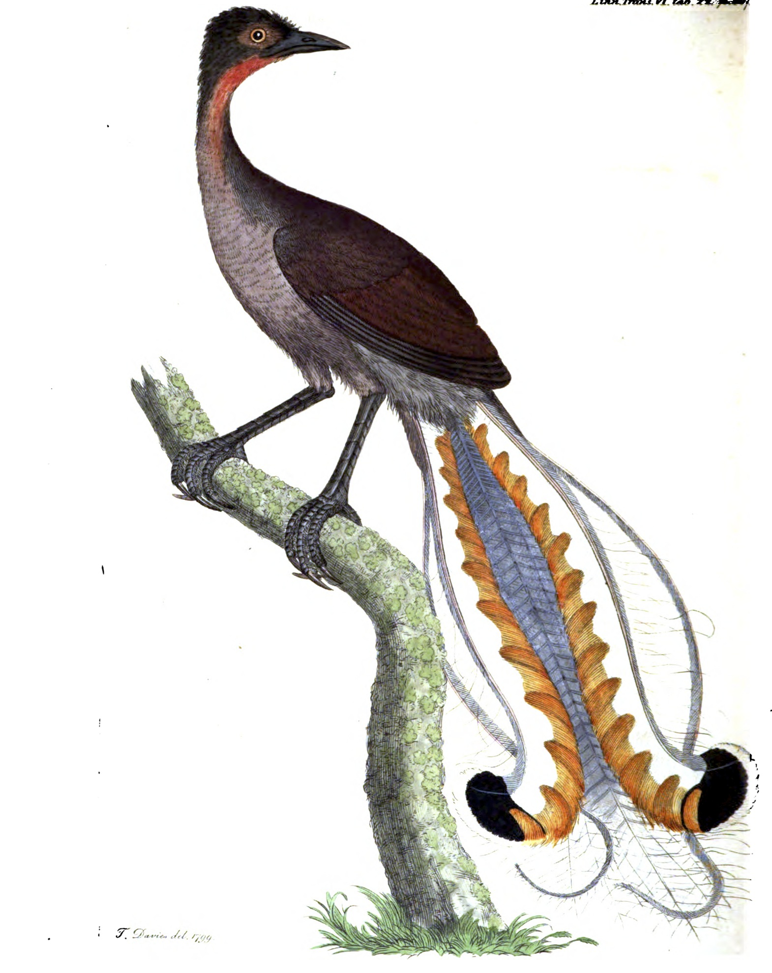 Painting of a superb lyrebird by Thomas Davies, circa 1800.