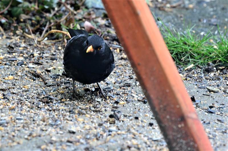 Blackkbird 16.02 (3)