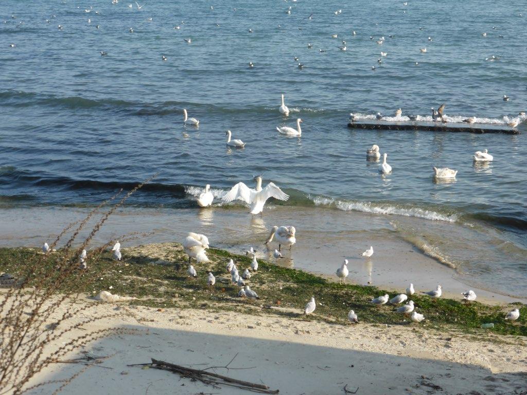 Лебеди у купальни