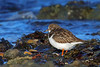 Ruddy Turnstone, Ruddons Point, Fife, Scotland