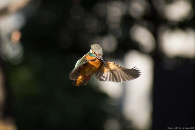 20180125-kingfisher-DSC_5455