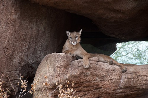 Desert Museum mountain lion