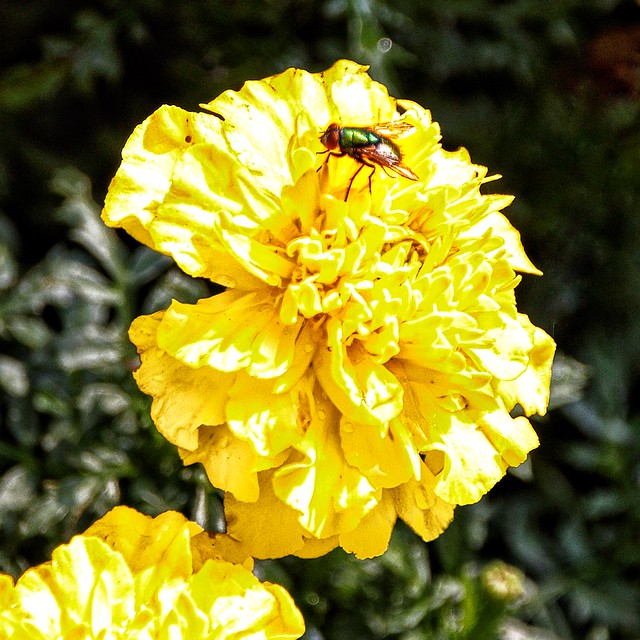 Lake Placid  New York - Yellow Peony with Fly - Sunlight