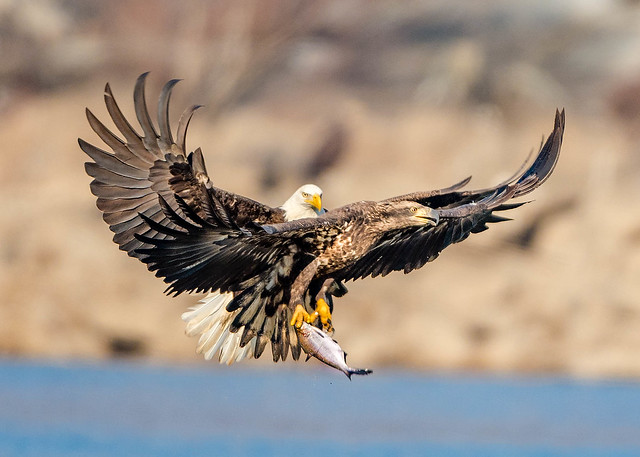 Broad daylight robbery --- Life of Eagle...!