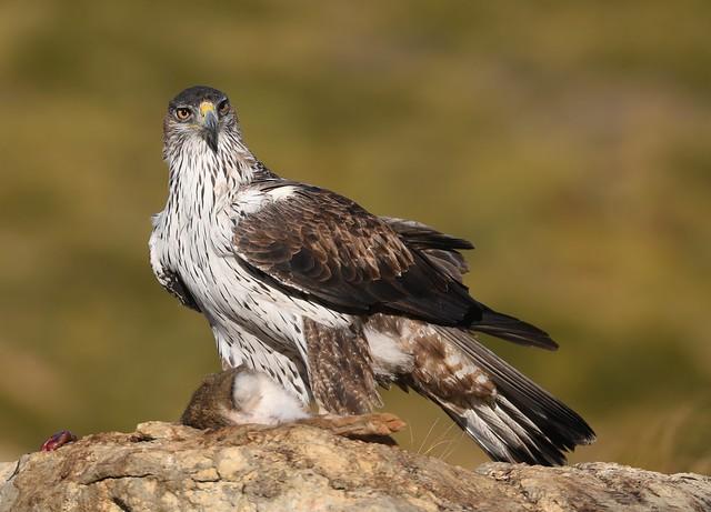 Bonelli's Eagle / Águia-perdigueira