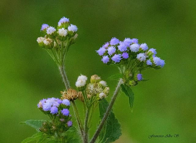 Asteraceae-Baccharis