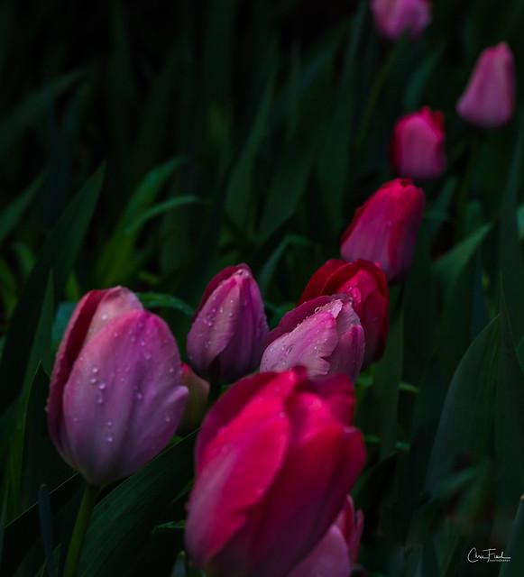 Flowers-Tulips-50.jpg