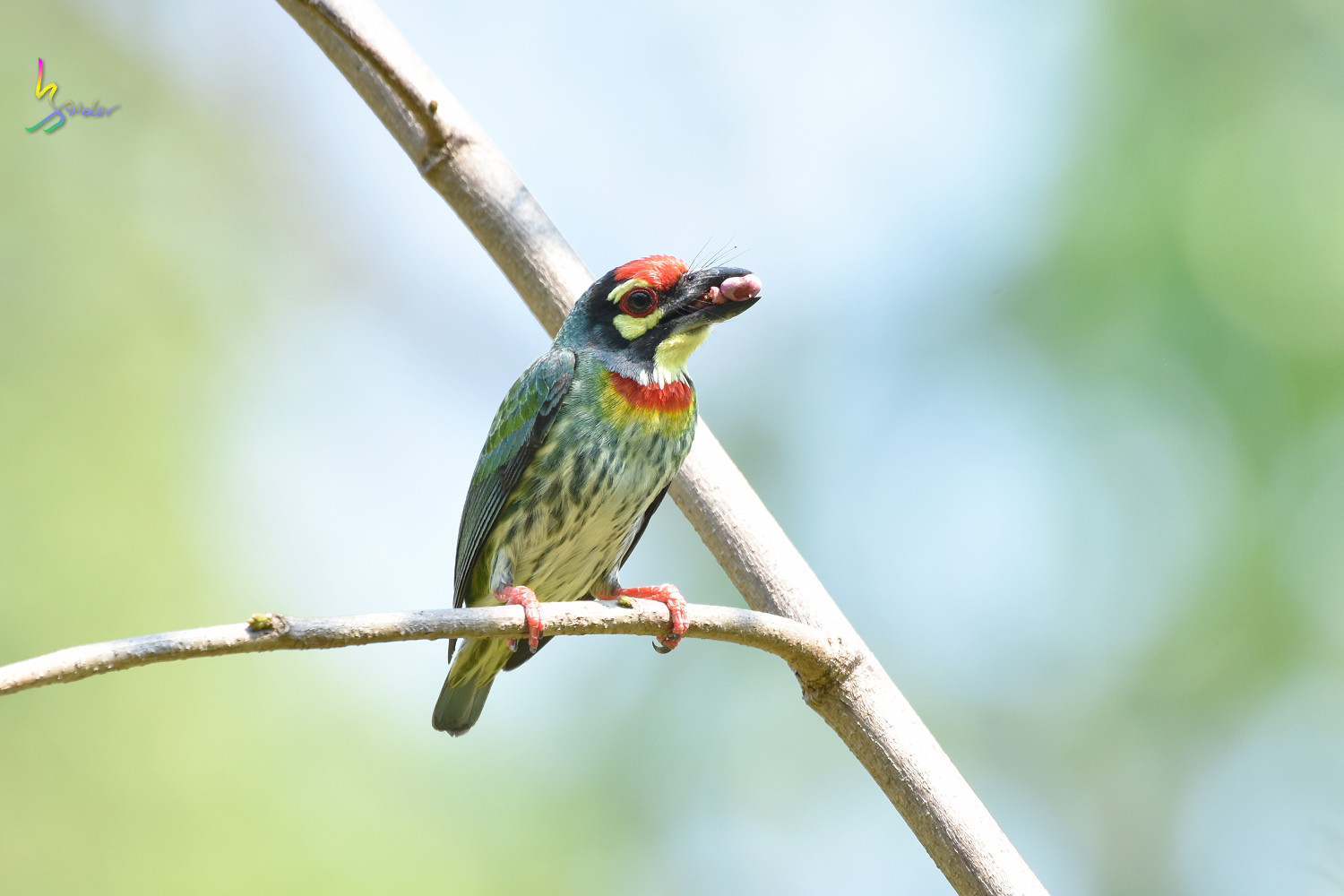 Coppersmith_Barbet_7660