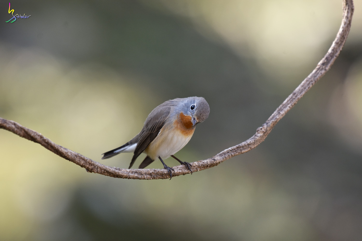 Red-breasted_Flycatcher_6813