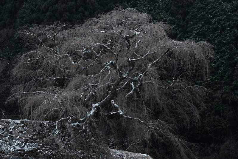 Winter of old cherry tree