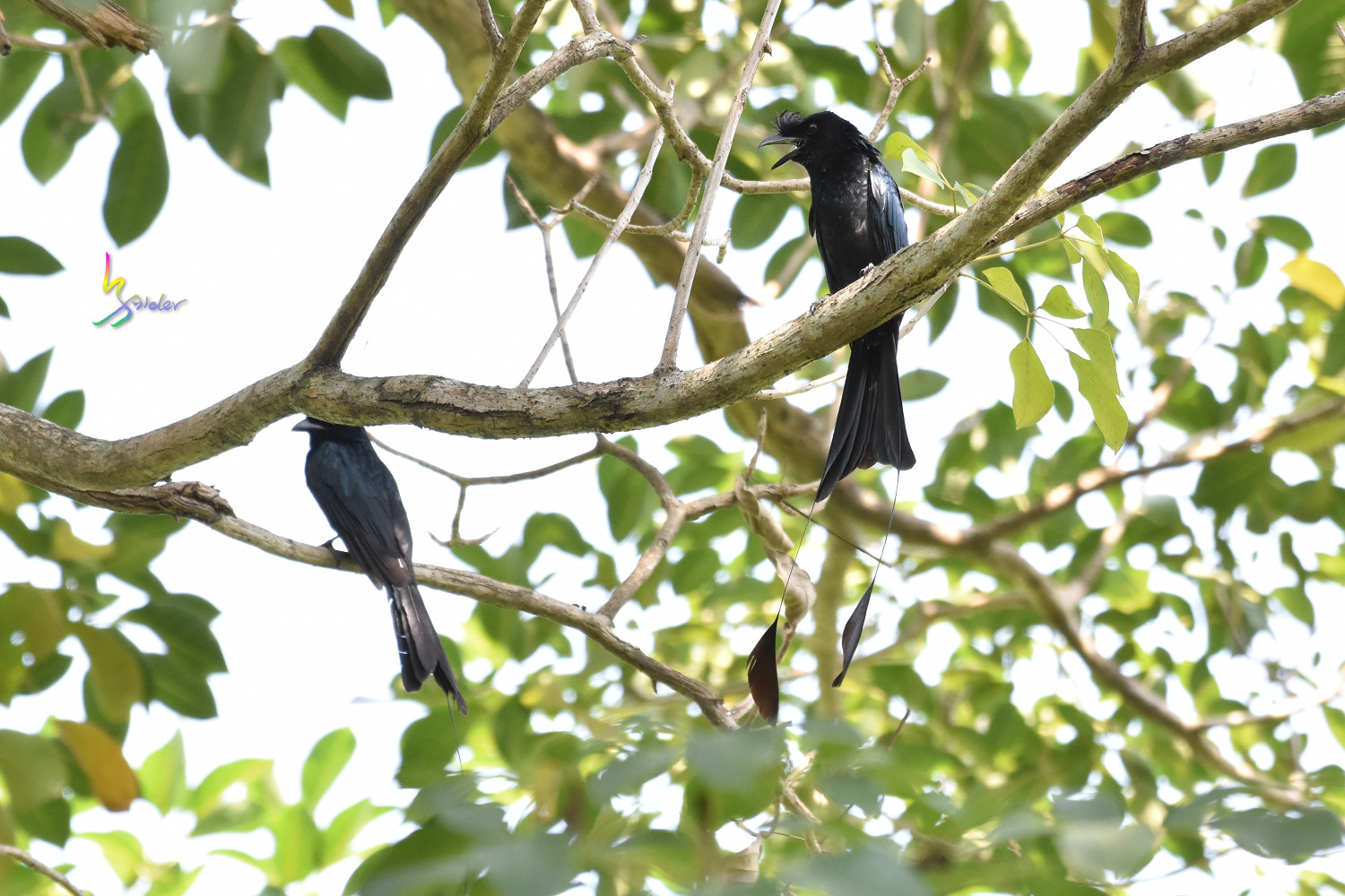 Greater_Racket-tailed_Drongo_2739