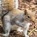 Grey squirrel 28 Jan 18 4